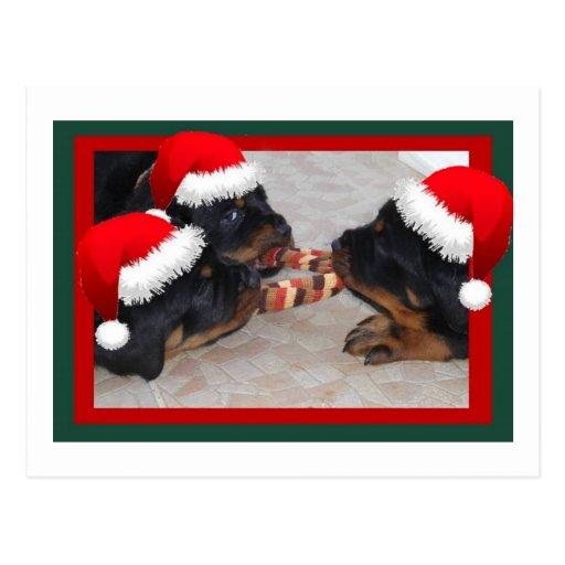 Rottweilers de Noël : Un moment de donner joyeux Cartes Postales