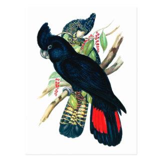 Rouge coupé la queue, Cockatoos. noirs (de Cartes Postales