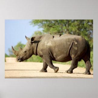 Route de croisement de rhinocéros blanc posters
