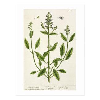 """Salviam """"d'un de fines herbes curieux"""", 1782 carte postale"""