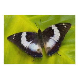 Sammamish, Washington. Papillons tropicaux 30 Photo D'art