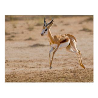 Sauter masculin de springbok (marsupialis carte postale