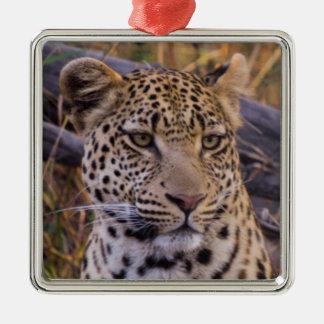 Séance de léopard, Botswana, Afrique Ornement Carré Argenté