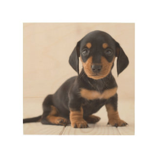Miniature Dachshund Sitting Wood Wall Art