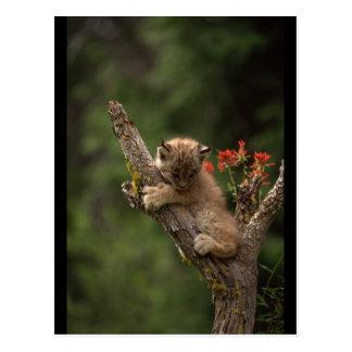 S'élever de Lynx de bébé Carte Postale
