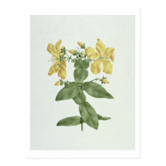 Sensation-Effort (quartinianum de Hypericum) (la Cartes Postales