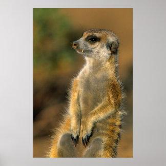 Sentinelle de Meerkat (Suricata Suricatta) Affiches