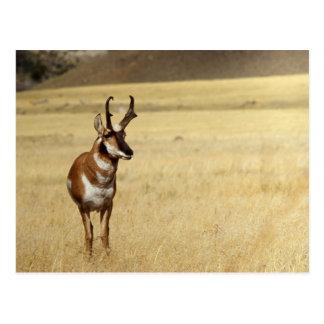Série de faune d'antilope de Pronghorn # carte
