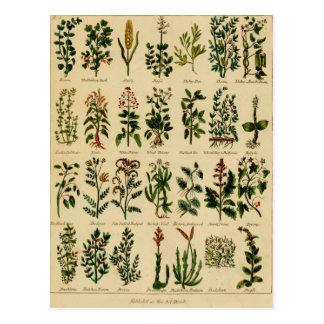 Série de fines herbes vintage de carte postale - 2