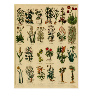 Série de fines herbes vintage de carte postale - 6
