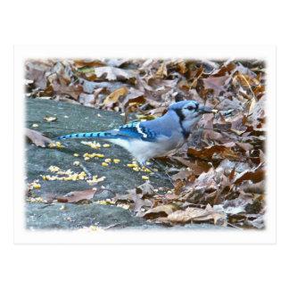 Série d'oiseau chanteur de geai bleu carte postale