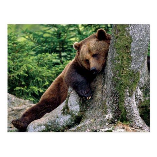 Série reposante de faune d'ours de Brown # carte p Carte Postale