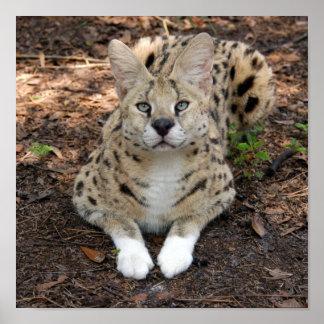 serval 003 affiche