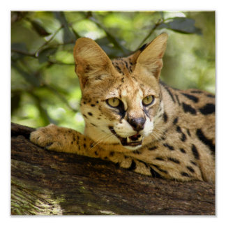 serval 035 posters