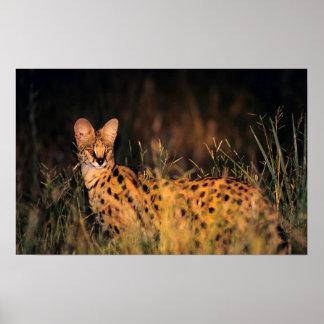 Serval (Serval de Leptailurus) dans la longue Affiche