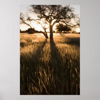 Silhouette des arbres d'acacia dans l'herbe. affiche