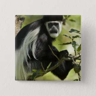 Singe de Colobus noir et blanc, Colobus 2 Badge