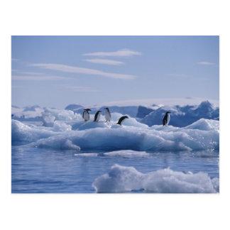 Six adeliae de Pygoscelis de pingouins d'Adelie) Carte Postale