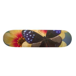 Skateboard 21,6 Cm Photographie de Sammamish Washington du papillon