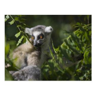 Sonnez le lémur coupé la queue (catta de lémur), carte postale