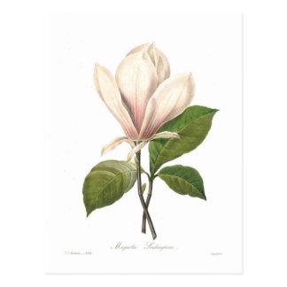 Soulangiana de magnolia carte postale