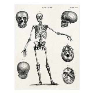 Squelettes antiques squelettiques d'anatomie de cartes postales