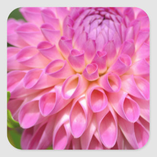 Sticker Carré Affiche rose abondante de dahlia et de bourgeon