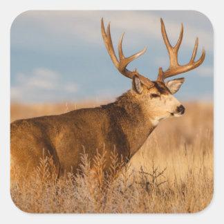 Sticker Carré Cerfs communs de mule dans la prairie d'hiver