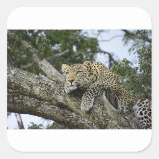 Sticker Carré Chat sauvage animal de safari de l'Afrique d'arbre