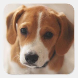 Sticker Carré Chiot 2 de beagle