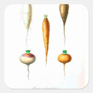 Sticker Carré Copie botanique de carottes vintages