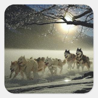 Sticker Carré Course enrouée d'Alaska de traîneau de chien