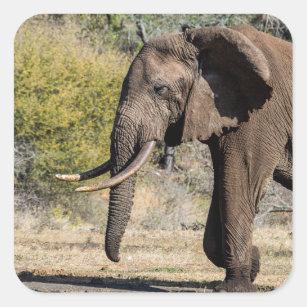 Sticker Carré Éléphant avec de longues défenses