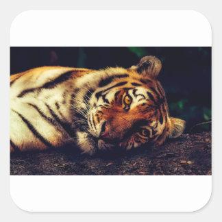 Sticker Carré Faune animale de tigre reposant le macro plan