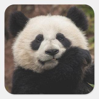 Sticker Carré Fermez-vous de la consommation de panda