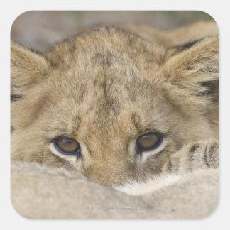 Sticker Carré Fermez-vous du visage de petit animal de lion