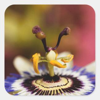 Sticker Carré Fleur commune de passion (caerulea de passiflore)