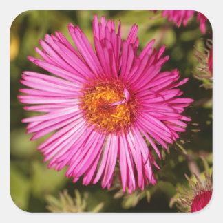 Sticker Carré Fleur d'un aster de Nouvelle Angleterre