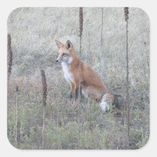 Sticker Carré Fox sauvage