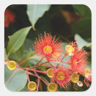Sticker Carré Gomme fleurissante rouge (ficifolia de Corymbia)