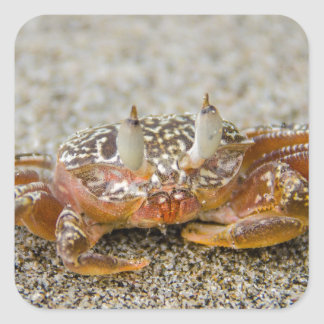 Sticker Carré Griffes de crabe