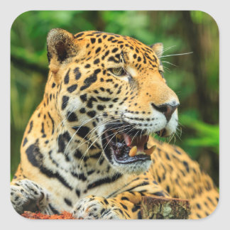 Sticker Carré Jaguar montre ses dents, Belize