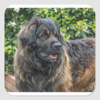 Sticker Carré leonberger 3