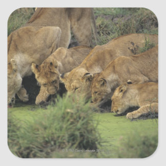 Sticker Carré Lions africains (Panthera Lion)