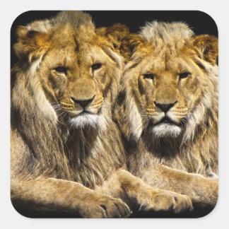 Sticker Carré Lions prédateurs dangereux