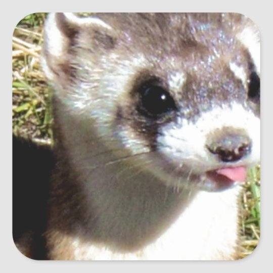 Sticker Carré Miscellaneous - Black-Footed Ferret Stare