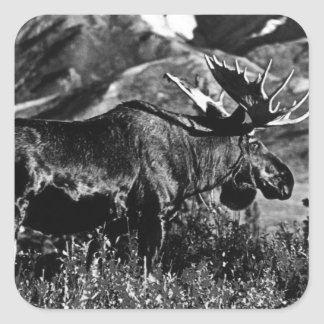 Sticker Carré Orignaux 1970 de taureau des Etats-Unis Alaska de