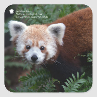 Sticker Carré Panda rouge de Smithsonien |