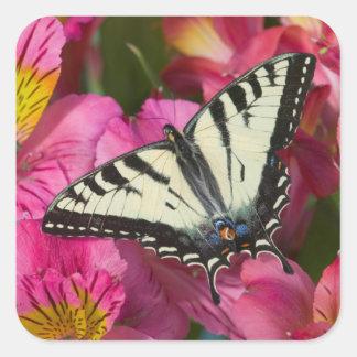 Sticker Carré Papillon de machaon sur le rose