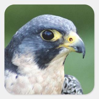 Sticker Carré Photo de visage de faucon pérégrin